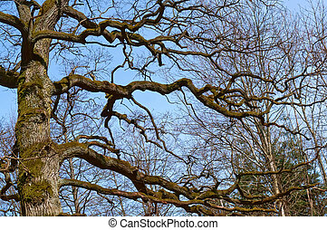 bare branches of a large tree, tree without leaves against the sky