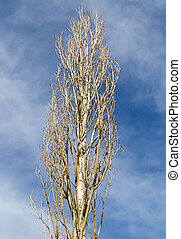 bare branches of a poplar against the blue sky