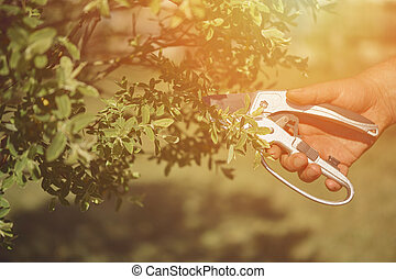 Bare hand of unknown human is clipping green twig of a tree with sharp pruning shears in sunny garden. Worker is landscaping backyard. Close up