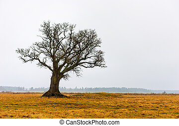 Bare oak tree - Bare old oak tree in yellow autumn landscape