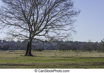 Bare Oak tree in a field