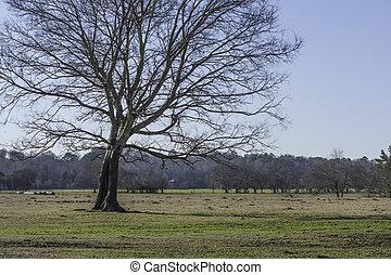 Bare Oak tree in a field
