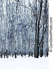 bare oak tree in birch grove