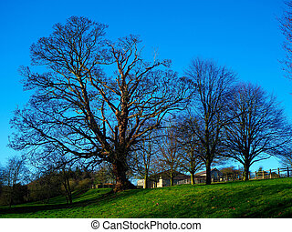 Bare oak tree in winter on a hilltop with a blue sky