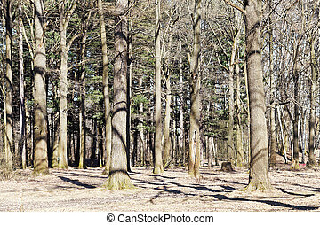 bare oak trees in spring forest