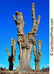 Bare old trees on blue sky