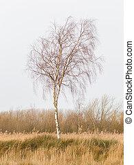 Bare Silver birch (Betula pendula) in the dutch landscape