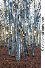 tree trunks in beech forest