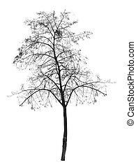 Bare tree without leaves. deciduous tree. Isolated over...
