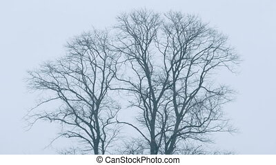 Bare Trees In The Wind - Bare trees in winter sway in the...