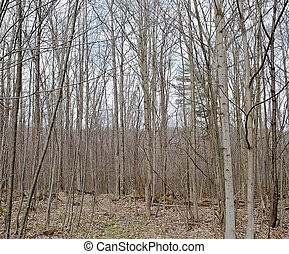 Bare trees in winter woods