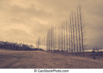 Bare trees on a row
