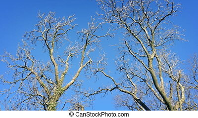 Bare Trees Sway In Winter Breeze - Large bare trees in the...