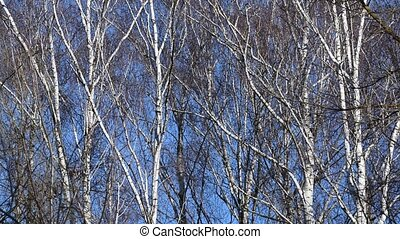 Bare trees swaying in the wind at blue sky background during...