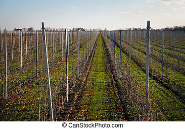 Bare vineyard in the autumn with empty rows of vines