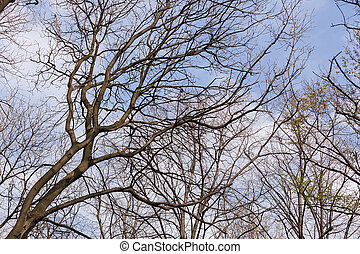 bared treetops in nature after winter, note shallow depth of...