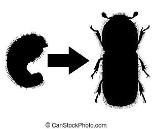 Bark-beetle development