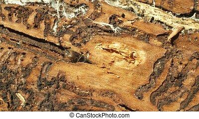 Bark beetle pest Ips typographus, spruce and bast tree...