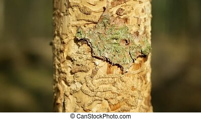 Bark beetle pest Ips typographus, spruce and bast tree ...