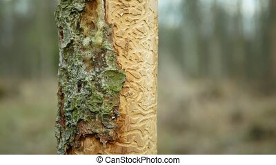 Bark beetle pest Ips typographus, spruce and bast tree sap ...