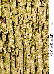 bark from a bitternut hickory or carya cordiformis tree