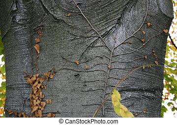 Bark of a beech tree