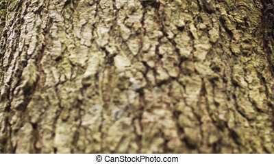 Bark of a Fir Tree in Closeup - Rough, crumbly bark of a ...
