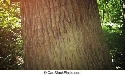 Textured bark of a mature tree in a Ukrainian forest in closeup, from an ascending perspective.