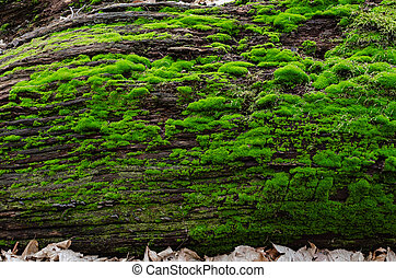 bark of an old tree covered with green moss in the forest