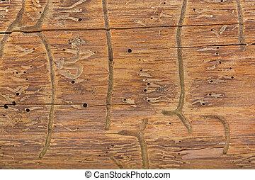 bark of bark beetle on wood