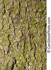 Bark of old fir tree.