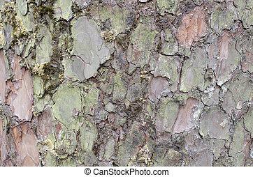 Bark of pine tree background
