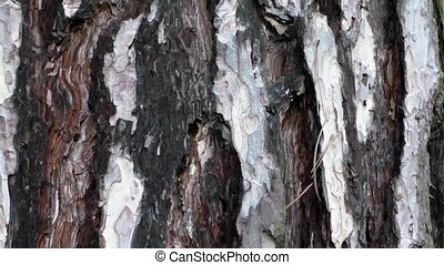 Bark of pine tree trunk