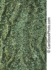 bark of tree with green-blue lichen