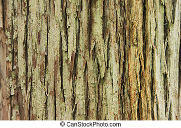 Bark of very old pine (Portugal)