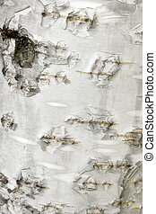 Bark of white birch tree, a vertical picture