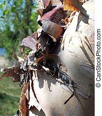 Bark Peeling On Birch Tree