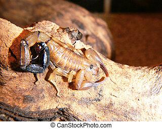 Bark scorpion - A bark scorpion species (Centruroides...