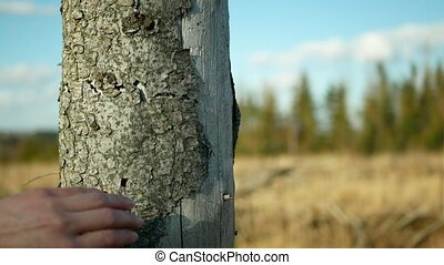 Bark wood beetle pest Ips typographus infestation, spruce ...