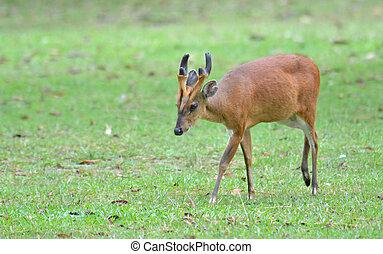 Barking deer in a field of grass