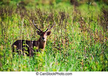 Barking deer in forest