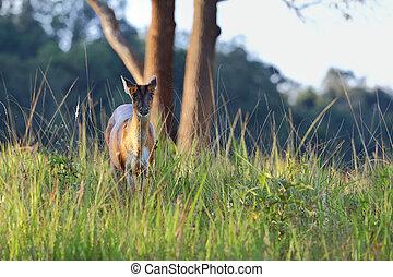 barking deer