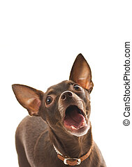Barking toy terrier isolated on white background