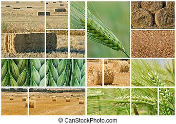 Barley and wheat.