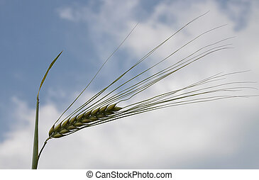 Barley awn in front of sky