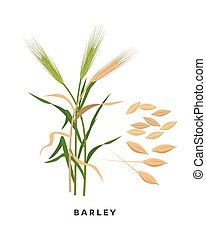 Barley cereal grass and grains - vector botanical ...