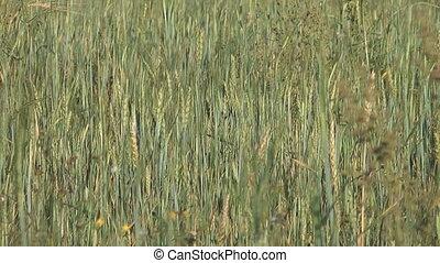 Barley. - Close up shot of barley swaying in the wind.
