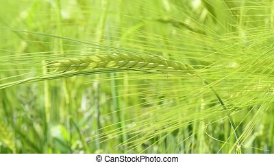 Barley, closeup of the head