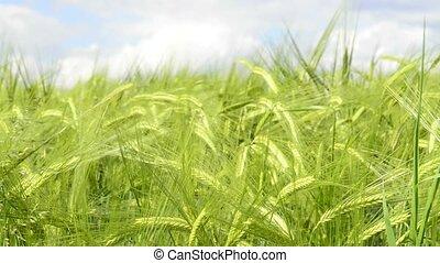 Barley, closeup of the head