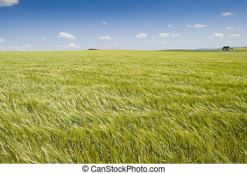 Barley crop - Barley swaying in the wind